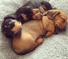 Buenas noches   #PetsWorldMagazine #RevistaDeMascotas #Panama #Dashchund #Tekel #Salchicha #Mascotas #MascotasPanama #MascotasPty #PetsMagazine #MascotasAdorables #Perros #PerrosPty #PerrosPanama #Pets #PetsLovers #Dogs #DogLovers #DogOfTheDay #PicOfTheDay #Cute #SuperTiernos