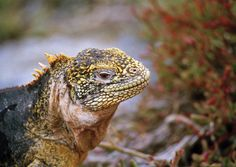 Here is a land iguana.