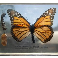 vtg Monarch BUTTERFLY science Specimen acrylic larva caterpillar Life span Art  Starting bid $14.99
