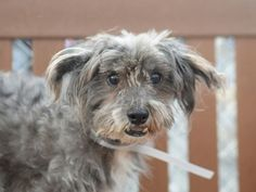 SAFE RTO 7-11-2015 --- SUPER URGENT Brooklyn Center RAPTOR – A1042366  MALE, GRAY, POODLE MIN / MALTESE, 10 yrs STRAY – STRAY WAIT, NO HOLD Reason STRAY Intake condition EXAM REQ Intake Date 07/01/2015