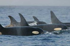 Resident (fish-eating) killer whales: The curved dorsal fins are typical of resident females.