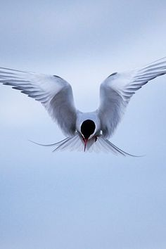 An Arctic tern defending its nest in Ny-Ålesund, Svalbard, 746 miles from the north pole.