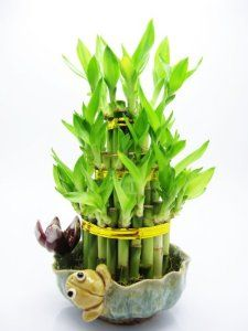 7 Stalks Of Lucky Bamboo Live Layer Cake Lucky Bamboo