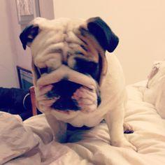 #bulldogs