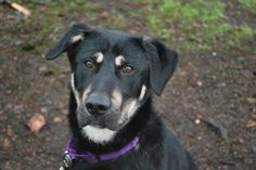 Tommy is a spunky and energetic 1-year-old Shepherd mix! He is very affectionate (think kisses!) and food motivated - plus handsome too! This cool dog will complete a loving family. Tommy was ADOPTED! from Seattle Humane, March 2017