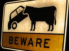 beware the car eating cows - (crazy traffic signs)