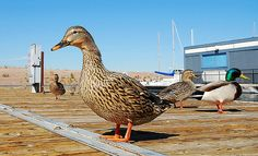 Ducks Having Fun at Lake Mead | Flickr - Photo Sharing!