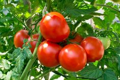 Growing Tomatoes Tips Tomato Garden Seeds - Oregon Spring - 1 Oz - Non-GMO, Heirloom, Vegetable Gardening Seed - Growing Tomatoes From Seed, Growing Tomato Plants, Growing Tomatoes In Containers, Grow Tomatoes, Garden Tomatoes, Growing Vegetables, Best Tasting Tomatoes, Tomato Vine, Tomato Tomato