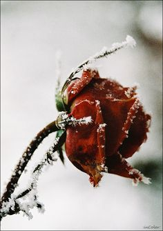 It was midsummer but when he touched the rose, his frost dripped deep through it's routes created the tiniest of crystals. It mesmerized him just as much as the person he'd wanted to give it to.