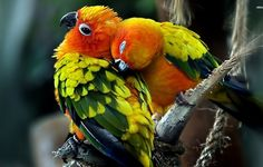 Lovebirds Wallpapers | Animals And Birds Wallpapers