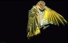 Female Yellow Shafted Flicker - photo by R. W. Scott