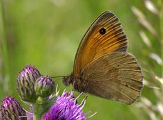 Photo Meadow Brown on a Thistle by Chrissie Barrow on 500px