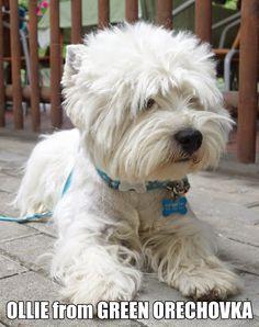 West Highland White Terrier CLUB - Photos - Community - Google+