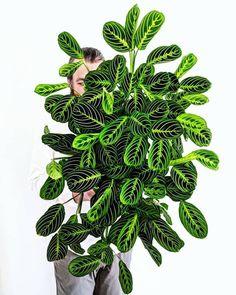 My Maranta lemon lime is juicier than ever. - My Maranta lemon lime is juicier than ever. , … My Marant - Garden Plants, Indoor Plants, Water Garden, Herb Garden, Cactus Plante, Prayer Plant, Design Jardin, Plants Are Friends, Garden Landscape Design