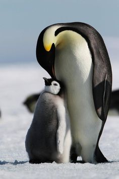 Emperor Penguin cares for chick Penguin Animals, Penguin Love, Baby Animals, Funny Animals, Cute Animals, Happy Penguin, Penguin Baby, Baby Penguins, Especie Animal