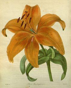 Lilium maculatum  - circa 1840
