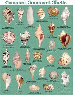 Seashells of Florida