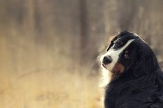 bernese mountain dog - pretty after puppyhood