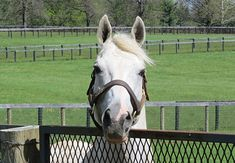 A great picture of the famous, fabulous Tapit from the Bloodhorse.com article: Looking Back at Afleet Alex and Tapit:Hangin' With Haskin