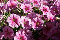 Petunias and container gardening. Petunia Plant, Petunia Flower, Petunias, Beautiful Home Gardens, Flower Meanings, Container Gardening Vegetables, Companion Planting, Small Trees, Front Yard Landscaping