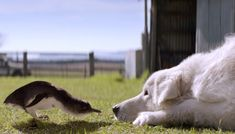 The Dogs That Protect Little Penguins by bbc: The Middle Island colony of Little Penguins ((Eudyptula minor), the smallest of the penguins) were being wiped out by native foxes until Oddball came to the rescue.. #BBC #Little_Penguins #Dogs #Australia