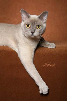 Platinum Burmese Cat - Gorgeous!
