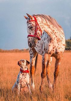 Brothers by different mothers ~ Beautiful Appaloosa horse! Pretty golden red field with the sunset shining on matching red spotted horse with red halter and dog with red collar. Horses And Dogs, Cute Horses, Pretty Horses, Horse Love, Beautiful Horses, Animals Beautiful, Pretty Animals, Colorful Animals, Cute Funny Animals