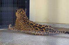 Jaguar, back shot.