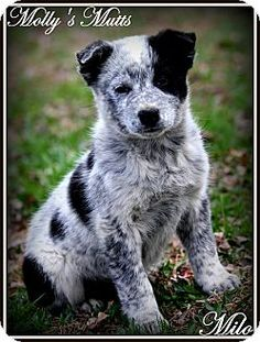 Dixon, KY - Blue Heeler/Border Collie Mix. Meet Milo, a puppy for adoption. http://www.adoptapet.com/pet/12654210-dixon-kentucky-blue-heeler-mix