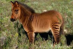 Zony is the offspring of a zebra stallion and a  Medium-sized pony mare.  A zebroid (also zedonk, zorse, zebra mule, zonkey, and zebrule) is the offspring of any cross between a zebra and any other equine: essentially, a zebra hybrid.