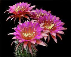 """Echinopsis hybrid """"Don Juan"""""""