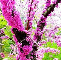 Cercis siliquastrum commonly known as the Judas tree the ones we saw in rome , not the eastern us ones