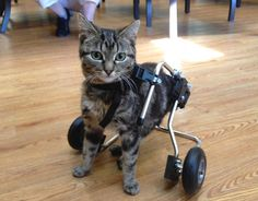 {little Dot gets help from some friends} kitty born with spina bifida - such a heart-warming story! xo