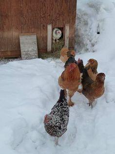 Protéger les poules du froid