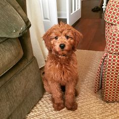 16 New Goldendoodle Haircut Guide Pictures - meowlogy Minature Goldendoodle, Goldendoodle Full Grown, Goldendoodle Names, Goldendoodle Haircuts, Goldendoodle Grooming, Dog Haircuts, Goldendoodles, Labradoodles, Medium Goldendoodle