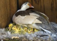Caring for ducklings hatched under a broody hen   Pets4Homes
