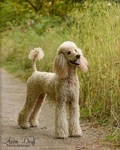 """Acquire wonderful tips on """"poodle pups"""". They are accessible for you on our web site. Positive Dog Training, Basic Dog Training, Training Dogs, Poodle Grooming, Dog Grooming, Goldendoodle Grooming, Labradoodle, I Love Dogs, Cute Dogs"""