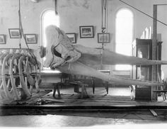 Whale skeleton during assembly, Museum of Natural History, n.d. (c.1900-1920's). Museum now known as the NC Museum of Natural Sciences, Raleigh, NC. From the Brimley Photo Collection, PhC.42, North Carolina State Archives, Raleigh, NC.