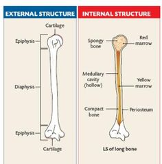 The Axial & Appendicular Skeletal Sections Skeleton