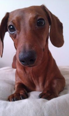 Doxie! - When I grow up, I wanna have one, yeah? ;))