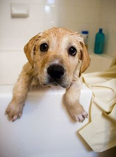 Golden Retriever puppy trying to escape bath time