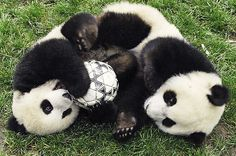Pandas in the China Zoo playing soccer.  [Note: click-through page is in Russian.]