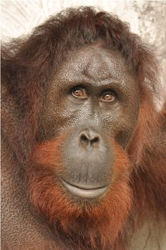 1 -  Arun, Nyaru Menteng Orangutan Release Candidate Profiles | August 16-17, 2013 ...    http://orangutan.or.id/nyaru-menteng-orangutan-release-candidates-profiles-august-16-17-2013/