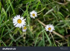 Oxeye daisies in the grass Daisies, Grass, Dandelion, Flowers, Plants, Photography, Image, Margaritas, Photograph