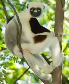Madagascar.  The country's most famous animal is the lemur. A sociable-looking Coquerel's sifaka lemur is shown here but visitors can also see various others, including diminutive mouse lemurs and monkey-sized indris.  Picture: Alamy