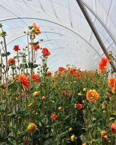 Look at the height of these #cagrown #dahlias!