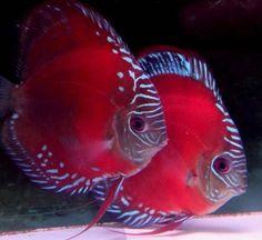 Diskus Aquarium, Tropical Fish Aquarium, Freshwater Aquarium Fish, Underwater Animals, Underwater Creatures, Ocean Creatures, Acara Disco, Oscar Fish, Discus Fish