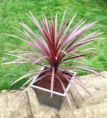 cordyline australis Red Star - not fully frost hardy. grow in pot and protect over winter Topiary Plants, Olive Tree, Palm Trees, Shrubs, Backyard, Landscape, Flowers, Outdoor, Star