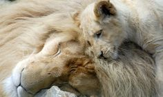 white lion picture | White lions cub Moto with his mother Zuri at Paradise Wildlife Park ...