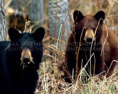 Prince Albert National Park, SK   These two cubs complete the triplet family with 'Peek a Boo'. The mother was brown in color herself and had one brown cub and two that were black. These two were far less interested in me than 'Peek a Boo' was however and they followed their mother closely as she headed into the forest.